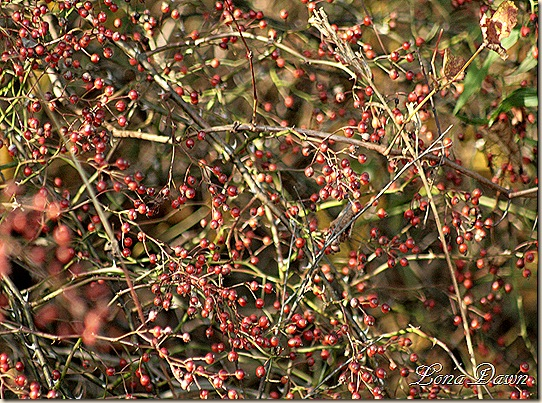 CH_Berries