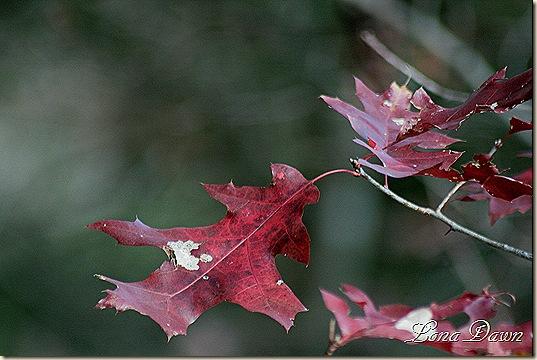Fall_Oaks