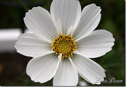 Cosmos_White4