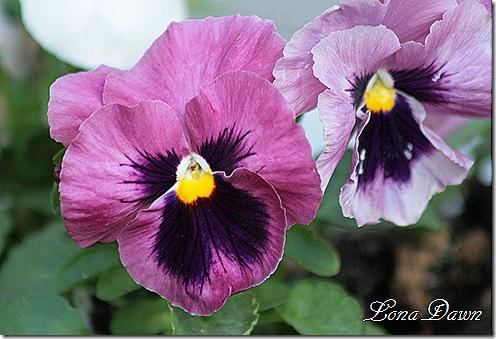 Pansy_Purples2