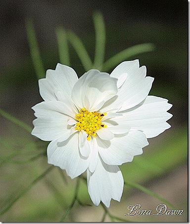 Cosmos2_White