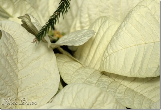 Poinsettia3_White_Dec2