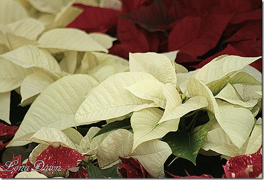 Poinsettia_White_Dec2