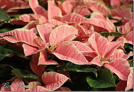 Poinsettia_Pink_Dec2