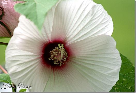 Hibiscus_Aprils3