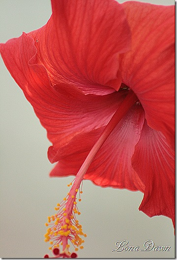 Hibiscus3_Bloom_Dec2