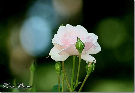 Rose_NewDawn2_June8