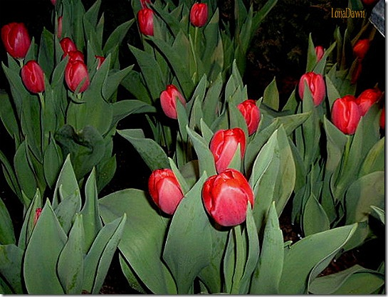 HGShow_2009_Tulips