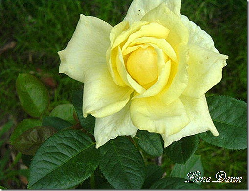 Irish_Gold_Rose