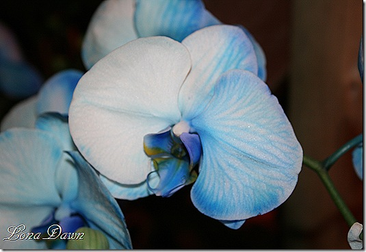 HGS_Orchid_BluePhalaenopsis3