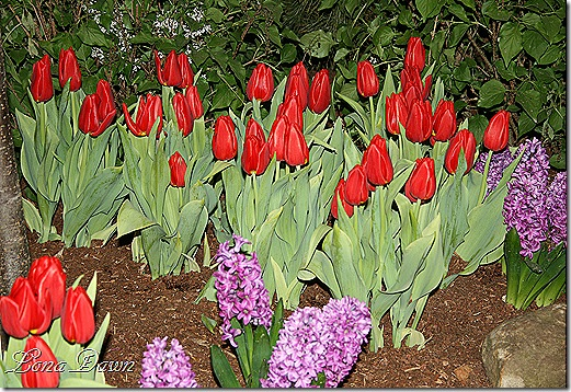 HGS_Tulips_Red