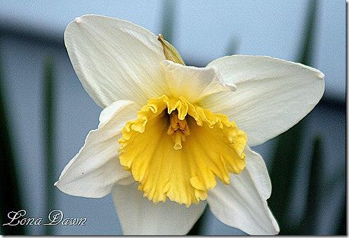 Daffodil_First