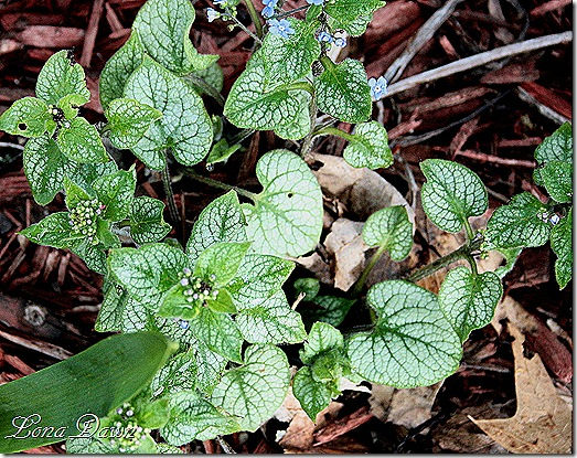Brunnera_LookingGlass_April8