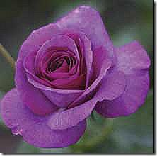 Rose_MelodyPerfume_Grandiflora