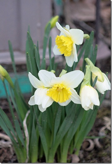 Daffodils_March 23