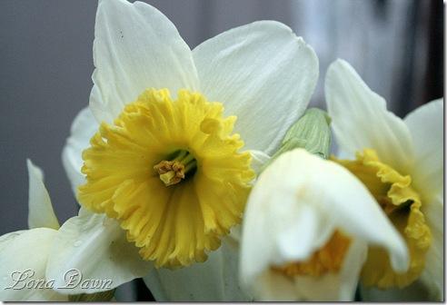 Daffodil2_Closeup