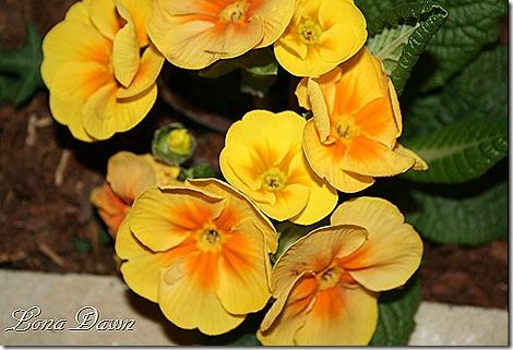 Primrose_Yellow