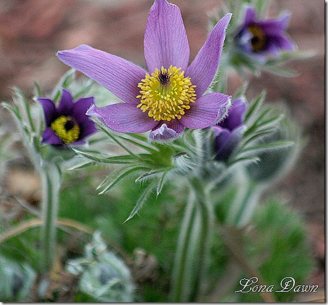 PasqueFlower5_PulsatillaVulgaris