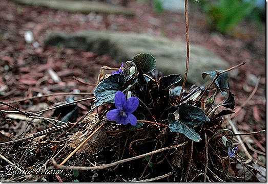Violet_Labrador_April13