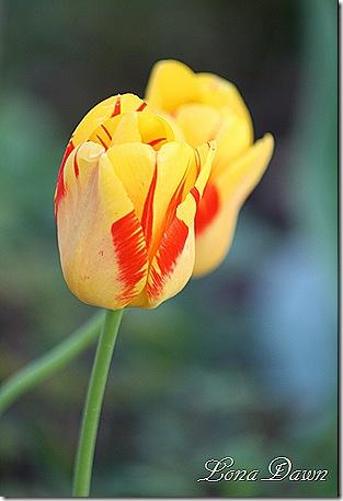 Tulip_YellowOrnage