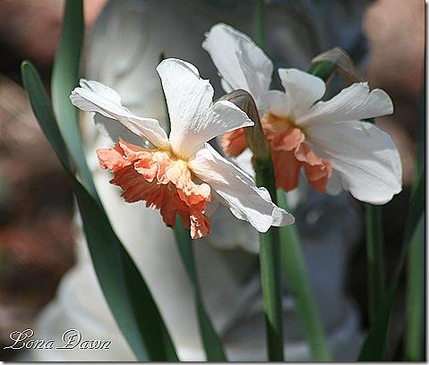 Daffodil_PRuffles