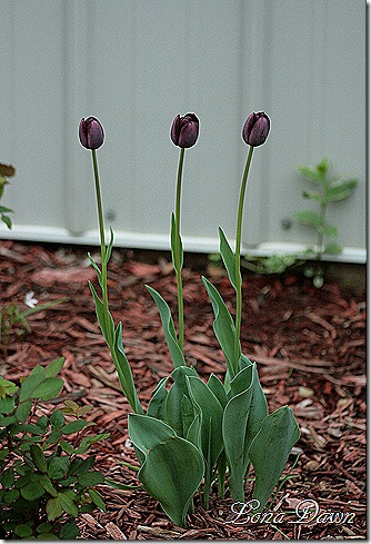 Tulip_QueenoftheNight