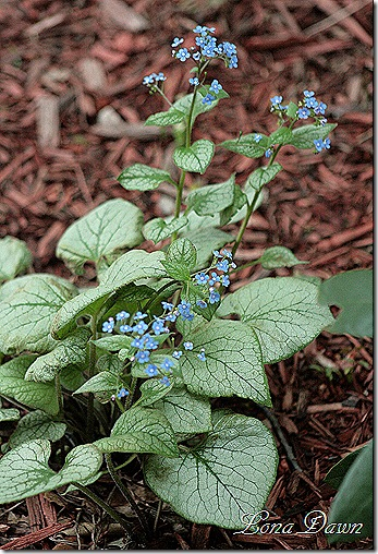 Brunnera_LookingGlass_April23