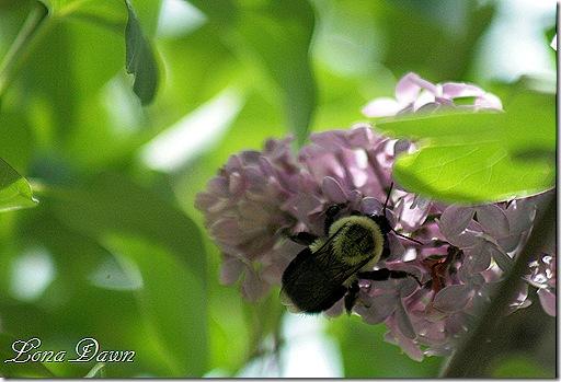 Bumblebee_Lilac