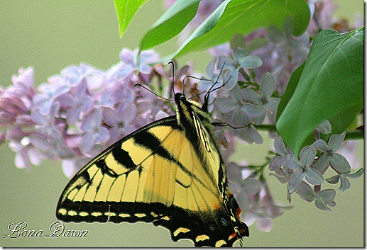 Butterfly2_Lilac