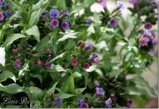 Pulmonaria_Bee