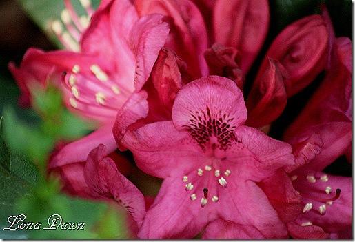 Rhododendron_NovaZemblaBloom2