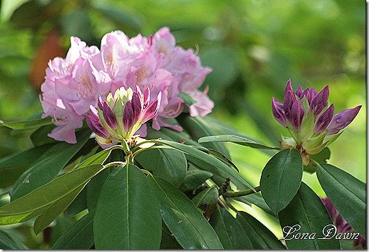 Rhododendron3_PJM