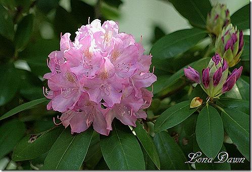 Rhododendron_PJM