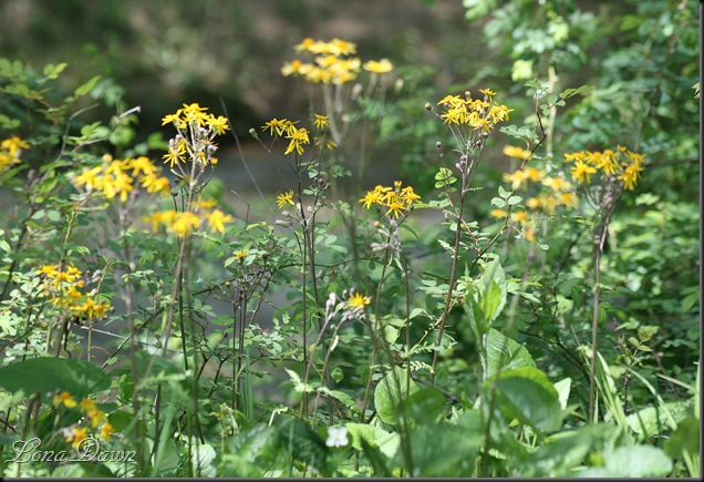 CH_GoldenRagwort2_May5