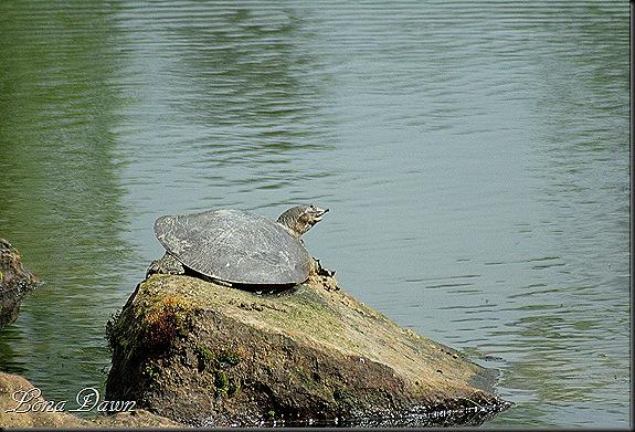 DA_JapaneseGardenLake_Turtles4