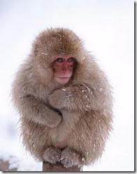 monyet salji