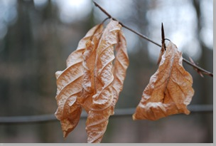 Last year's dry leaves