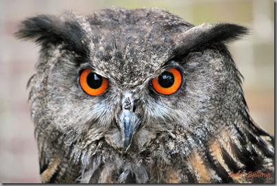 Eagle Owl Kappesfest Rheindahlen 2011