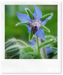 borage
