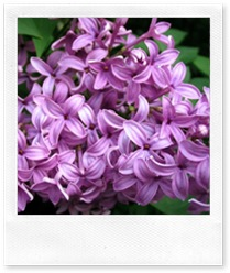 lilac-closeup