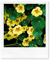nasturtium2