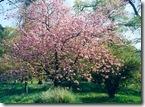 Cherry_Blossom_fs