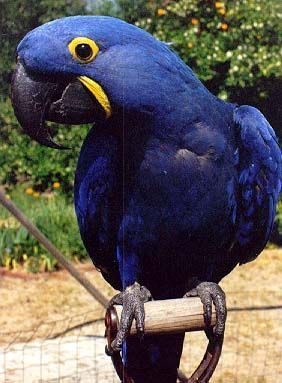 Hyacinth Macaw - Most Expensive(funniest area)