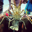 Bamboo Lobster