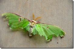 sterlie moth3