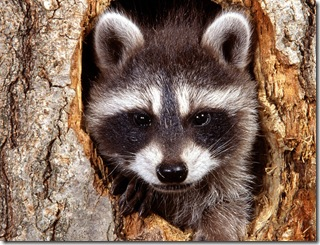 natural-bandit-raccoon-pictures