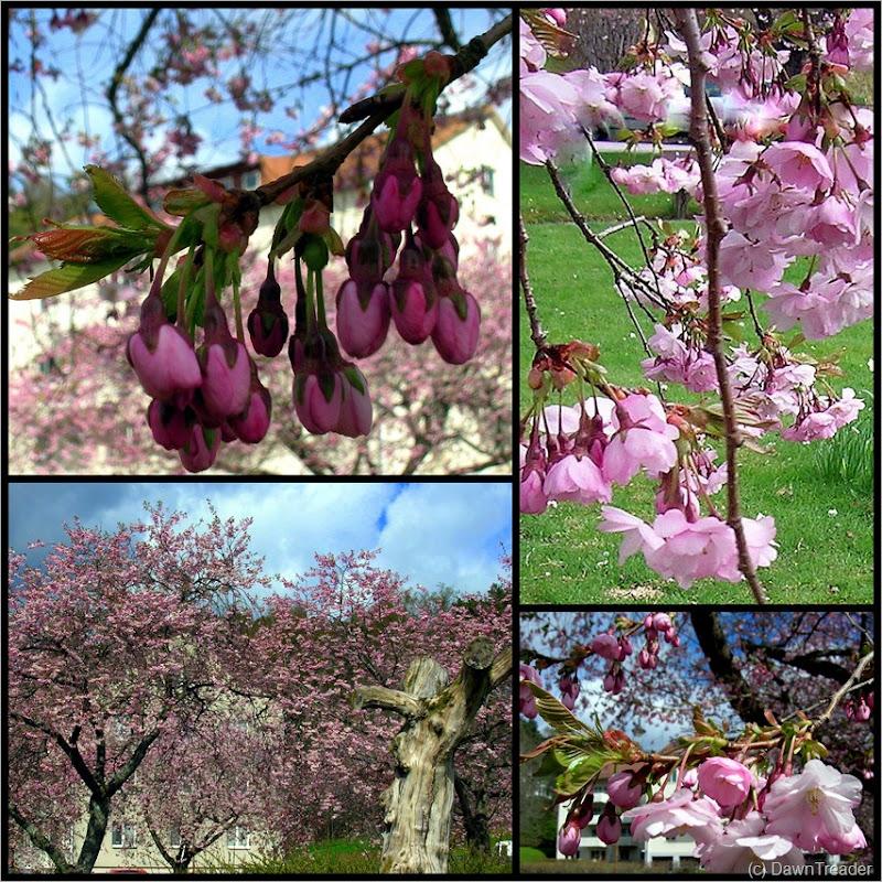 2010 05 09 cherry blossom 4