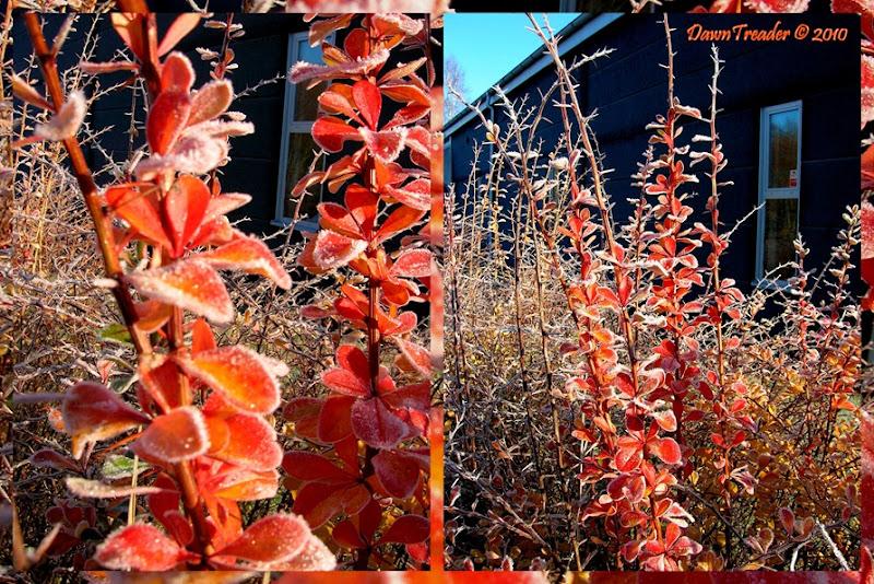 2010-11-07-2 firebush dt