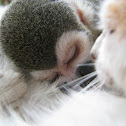 Squirrel monkey & kitten