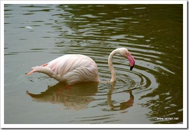 Flamingo-CloseUp